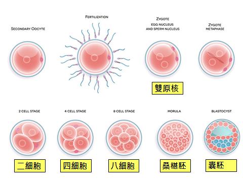 早期胚胎發育.png