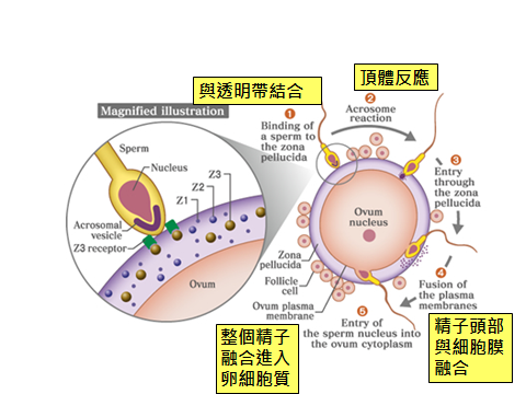 精卵結合.png