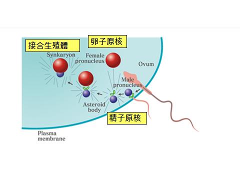 精卵結合過程.png