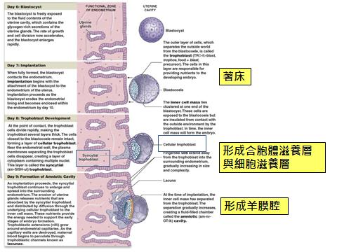 羊膜腔形成.png