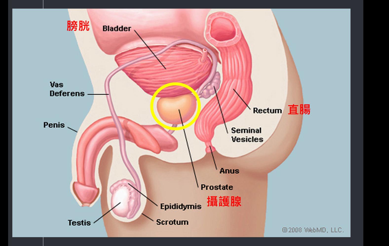 攝護腺位置